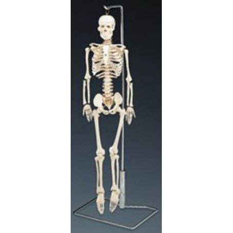 Mr. Thirfty Flexible Skeleton Desktop Model with Stand, 33-1/2in