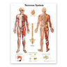 3B Scientific Laminated Classic Anatomical Chart, Nervous System