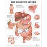 Laminated Anatomical Chart, Digestive System