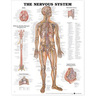 Laminated Anatomical Chart, Nervous System