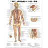 Laminated Anatomical Chart, Lymphatic System