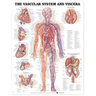 Laminated Anatomical Chart, Vascular System and Viscera