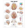 Laminated Anatomical Chart, Brain