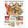 Laminated Anatomical Chart, Ear: Organs of Hearing and Balance