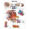 Laminated Anatomical Chart, Eye