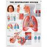 Laminated Peter Bachin Anatomical Chart, Respiratory System