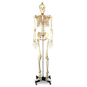Budget Full-Size Articulated Skeleton with 16in Wide Metal Base, 5ft 6in