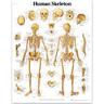 3B Scientific Classic Laminated Anatomical Chart, Human Skeleton