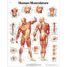 3B Scientific Classic Laminated Anatomical Chart, Human Musculature