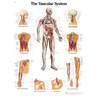 3B Scientific Classic Laminated Anatomical Chart, Vascular System