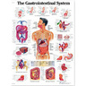 3B Scientific Classic Laminated Anatomical Chart, Gastrointestinal System