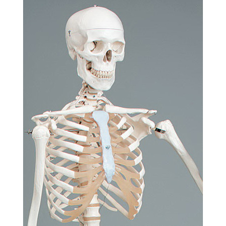 Mr. Plain Human Skeleton with Mobile Stand, Lifesize, 5ft 5in