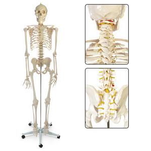 Human Skeleton, Plastic
