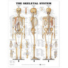 Laminated Anatomical Chart, Skeletal System