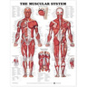 Laminated Anatomical Chart, Muscular System