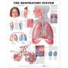 Laminated Anatomical Chart, Respiratory System