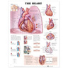 Laminated Anatomical Chart, Heart
