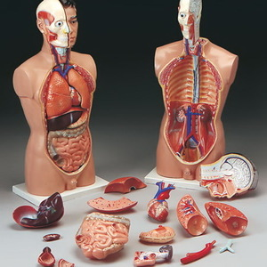 Dissectible Full-Size Male Torso with Base, 33in H