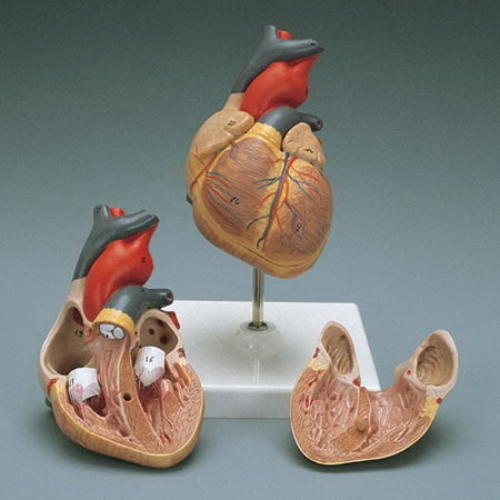 Dissectible Anatomically Correct Heart Model, 12cm x 12cm x 22cm