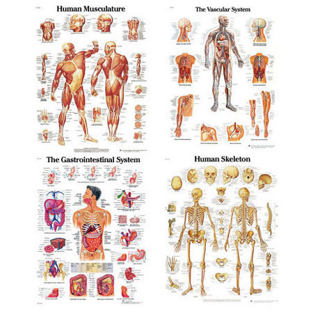 Laminated 3B Scientific Anatomical Charts