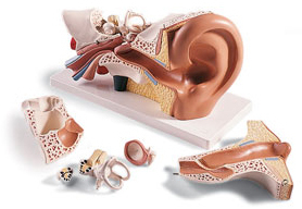 6-part Giant Ear Model